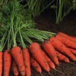 Продам моркву від виробника великим оптом. Житомир