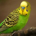 Продам хвилястих папуг