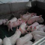 Продажа свиней, поросят живым весом