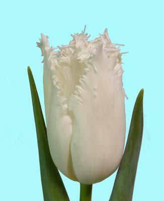 Розпродаж цибулин тюльпана
