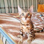 Продажа котят бенгальской кошки.