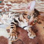 Бенгальская кошка. Продажа котят Киев.