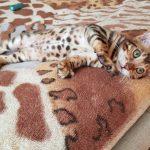 Бенгальская кошка купить Одесса.