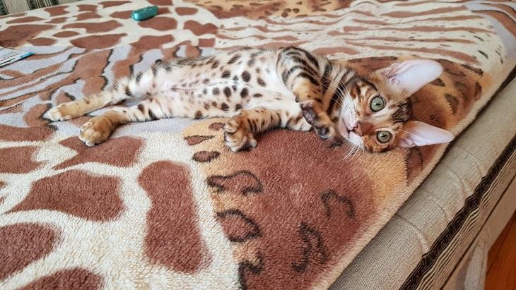 Бенгальская кошка купить Харьков.